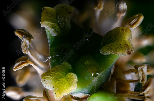 Fotografie, Obraz Macro view of a pistil and the scar of a boxwood.