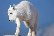 Mountain Goat Kid On A Rock
