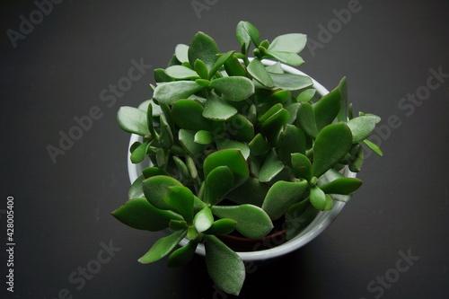 Obraz zielona roślina doniczkowa na czarnym tle - fototapety do salonu