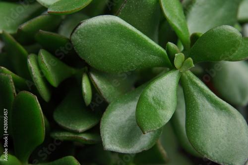 liście kwiat doniczkowy zielone makro - fototapety na wymiar
