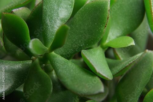 liście kwiat doniczkowy zielone makro