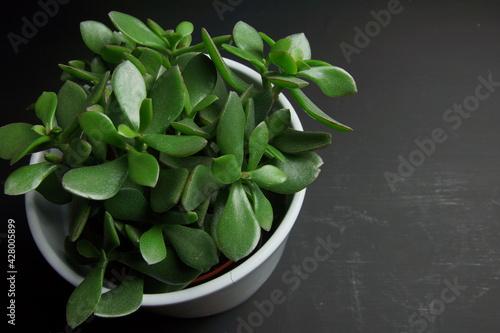 Obraz ielona roślina doniczkowa na czarnym tle - fototapety do salonu