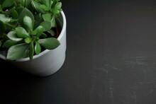 Zielona Roślina Doniczkowa Na Czarnym Tle