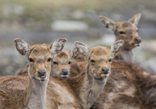 Pack Of Young White Tailed Deer (Odocoileus Virginianus) Closeup