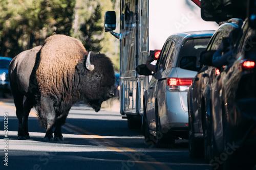 Fényképezés buffalo on the road