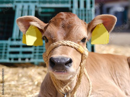 Canvas Print ブラウンスイスの子牛
