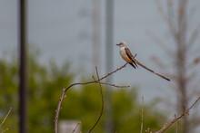 Scissor-Tailed Flycatcher Sitting In Tree