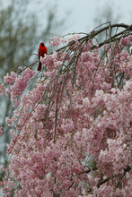 Vertical Shot Of Cherry Blossom Tree In Bloom With A Red Bird Perching On Its Branch