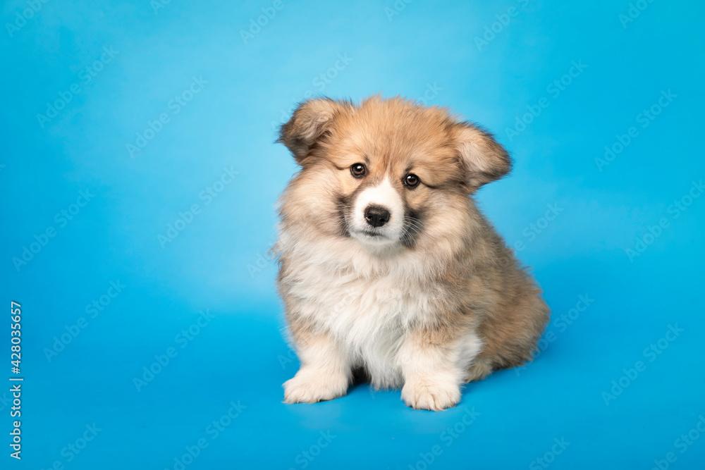 Fototapeta Corgi - Fluffy. Portret długowłosego szczeniaka