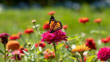 Monarch Butterfly (Danaus Plexippus) On Bright Flower In A Garden With A Blurred Green Background