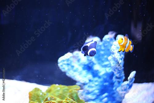 Fototapeta Closeup shot of a Clownfish swimming in the aquarium
