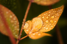 Water Drops On Golden Yellow Shrub Leaf After Rain And Fog.