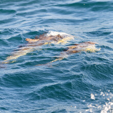 Two Dolphins Jumping In The Mediterranean Sea On A Clear Day, The Striped Dolphin (Stenella Coeruleoalba) Close-up. Waves And Water Splashes. A View From The Sailing Boat. Spain
