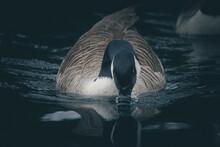 Wild Canadian Goose