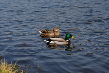 Two Ducks Swim On A Blue Pond