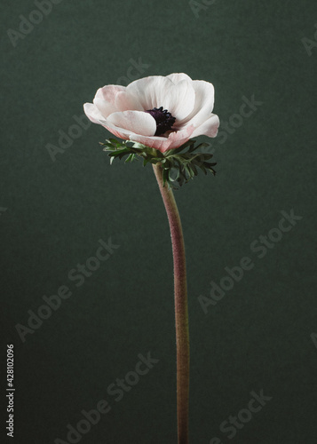 Canvas Print Vertical shot of a white anemone on a dark background