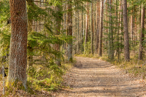 Leśna droga wśród drzew iglastych na wiosnę - fototapety na wymiar