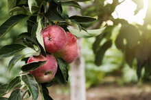 Ripe Apples On Tree Branch In Garden. Space For Text