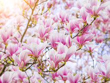 Branch Magnolia Pink Blooming Tree Flowers In Soft Light. Purple Tender Blossom Magnoliaceae Soulangeana In Sunny Spring Day In Garden Spring Time Natural Floral Background. Botanical Garden Concept