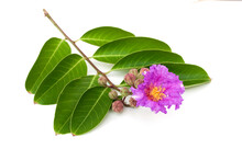 Lagerstroemia Speciosa Flower Isolated On White Background.