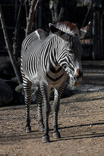 Grevy`s Zebra In Its Enclosure. Latin Name - Equus Grevyi