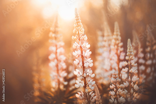 Fototapeta Beautiful delicate fragrant lupine flowers bloomed in the forest, illuminated by the warm rays of the setting sun. Nature. obraz