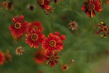 Orange Plains Coreopsis Flowers, Coreopsis Tinctoria, India