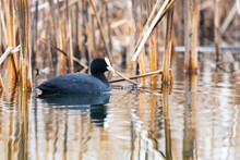 Water Bird Eurasian Coot, Fulica Atra Feeding In Reeds On Pond. Czech Republic, Europe Wildlife