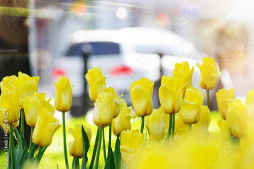 Foto Yellow tulips after rain in the city