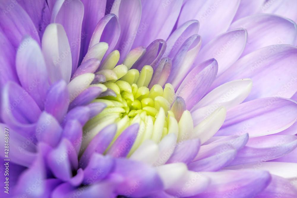 Fototapeta Piękny fioletowy aster kwitnący w ogrodzie