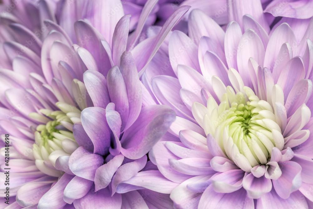 Fototapeta Fioletowe astry kwitnące w ogrodzie
