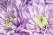 Fioletowe astry kwitnące w ogrodzie