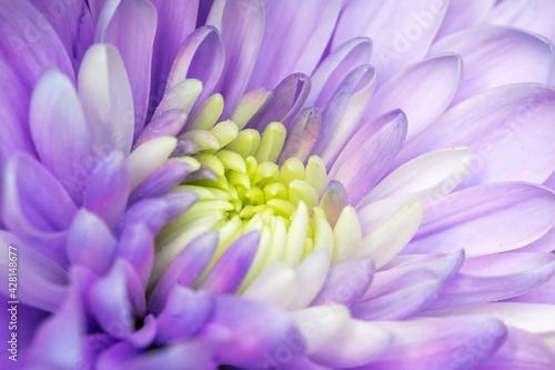 Obraz Piękny fioletowy aster kwitnący w ogrodzie - fototapety do salonu