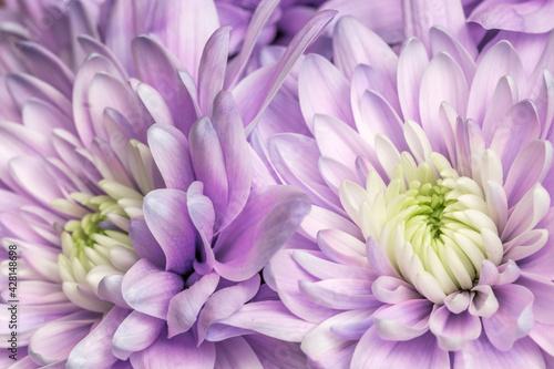 Fototapeta Fioletowe astry kwitnące w ogrodzie obraz