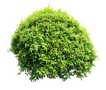 Tropical Flower Shrub Bush Tree Isolated  Plant With Clipping Path.