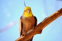 Portrait Of Parrot Cockatiel, Cockatiel Close-up.