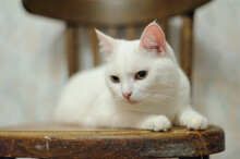 White Cat In The Room On Old Chairs