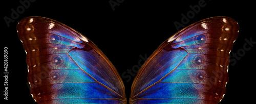 Fototapeta Wings of a butterfly Morpho texture background. Morpho butterfly.  obraz