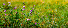 Purple Wildflowers In The Meadow Among The Green Grass. Summer Background