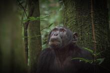 Chimpanzee In Kibale National Park In Uganda, Africa