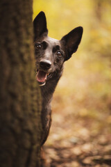 adorable dutch and belgian shepherd malinois mixed breed dog peeking out from behind a tree trunk in a forest in autumn