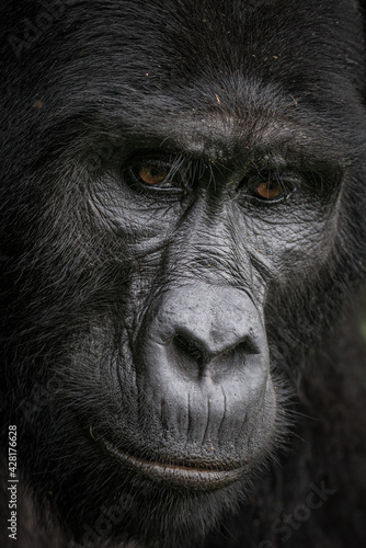 Naklejka premium Gorilla family with silverback in Bwindi Impenetrable Forest, Uganda, Africa