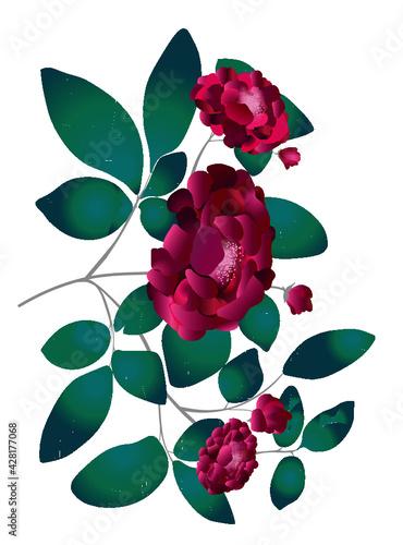 Obraz vector wektor rosę róża ilustracja przezroczysty natura kwiaty flower isolatej - fototapety do salonu