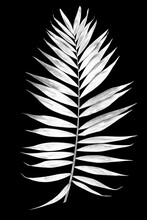 Tropical Leaf Of Palm Tree Isolated On A Balck Background. Image Digitally Modified With Sollarization Black And White Effect.