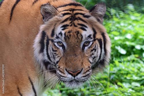 Canvas Portrait of a bengal tiger, Closeup head Bengal tiger, Male of Bengal tiger clos