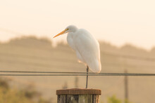 Evening Light On A Great White Egret