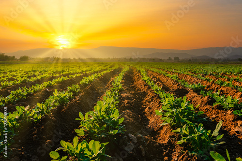 Fotografie, Obraz Landscape of peanuts plantation in countryside Thailand near mountain at evening