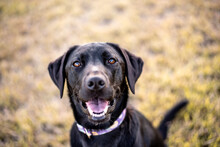 Black Labrador Retriever Portrait, Outside In A Park.