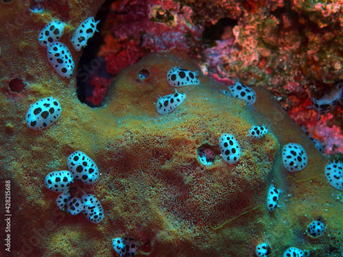 Fotografie, Obraz Colony of dotted sea slugs in Adriatic sea near Hvar island