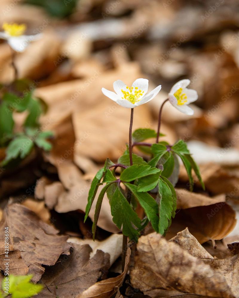 Fototapeta Wiosenny spacer w lesie. Zawilec gajowy.